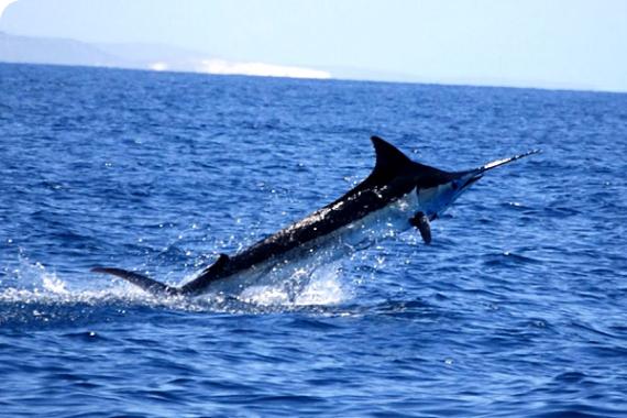 Fishing Blue Marlin Ribalkoff