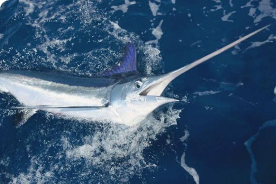 White Marlin Punta Cana Ribalkoff
