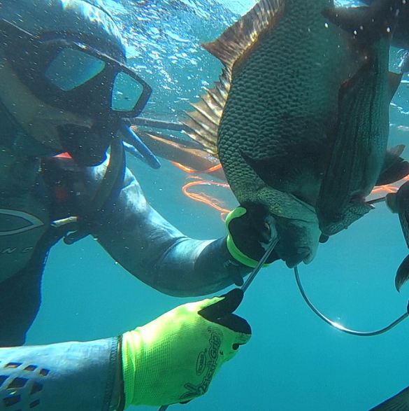 spear fishing underwater