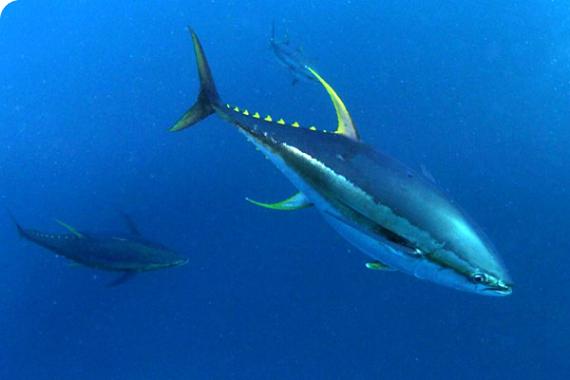 Fishing Tuna DR